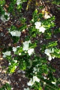 fioribianchi
